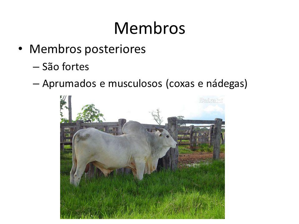Membros Membros posteriores – São fortes – Aprumados e musculosos (coxas e nádegas)