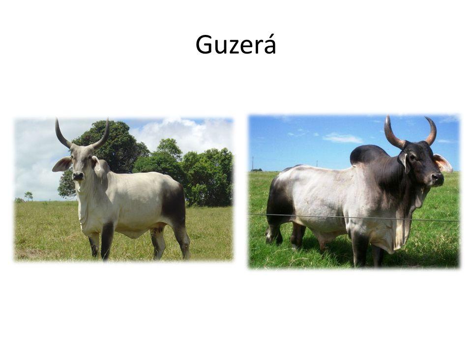 Guzerá