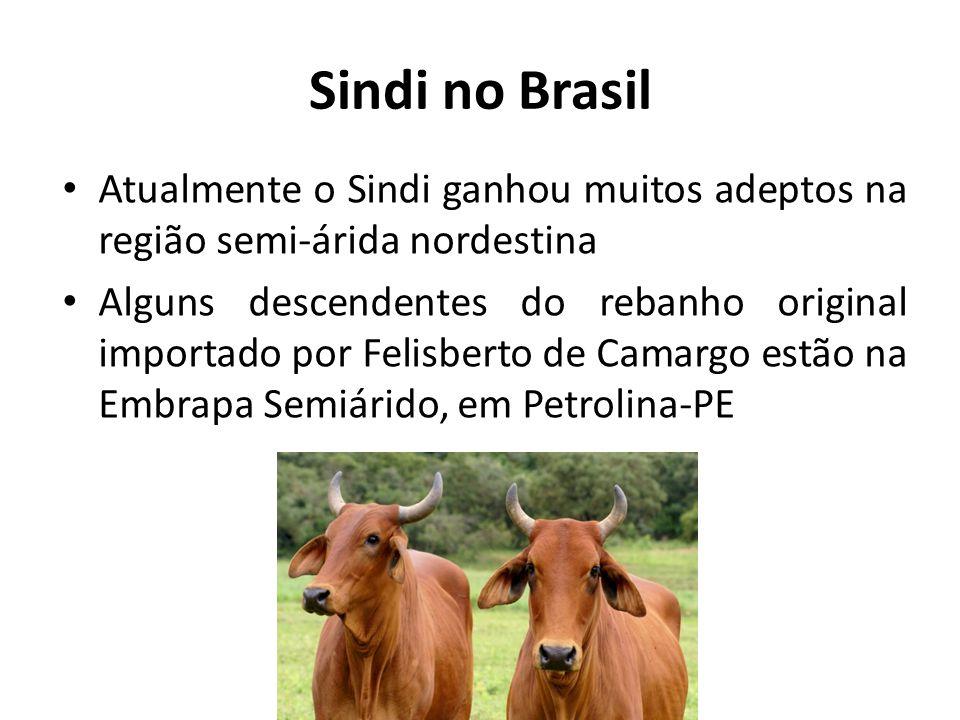 Sindi no Brasil Atualmente o Sindi ganhou muitos adeptos na região semi-árida nordestina Alguns descendentes do rebanho original importado por Felisbe