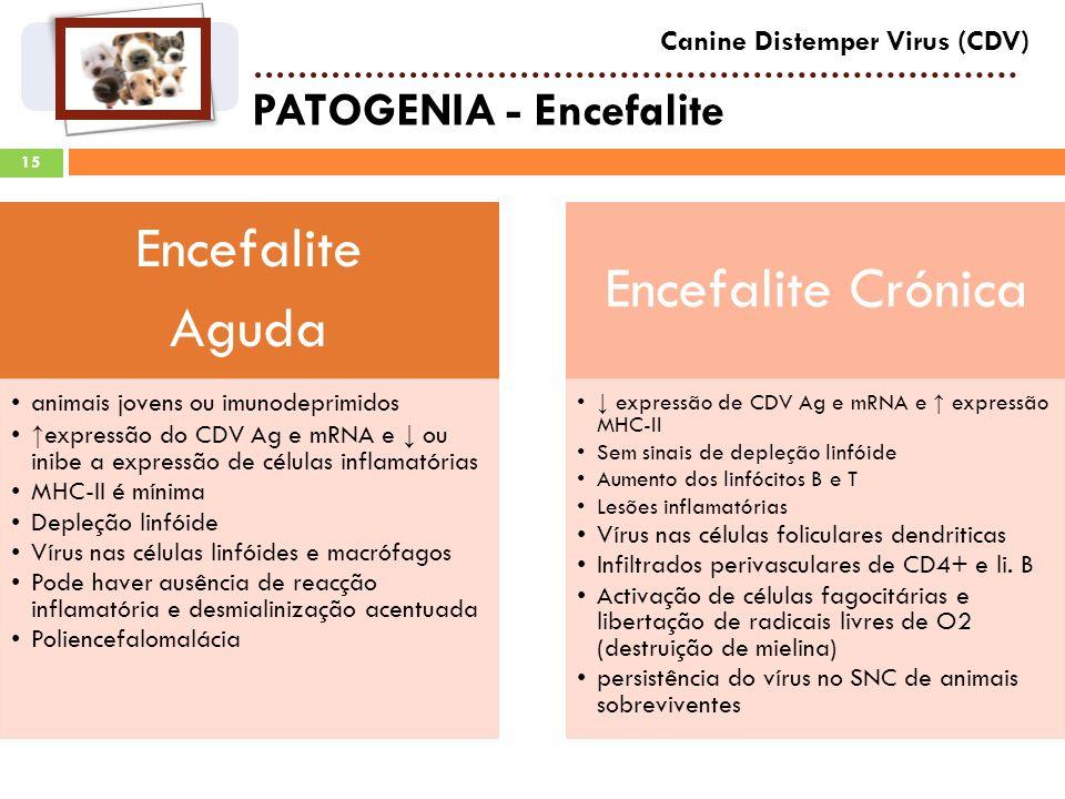 15 PATOGENIA - Encefalite Canine Distemper Virus (CDV) Encefalite Aguda animais jovens ou imunodeprimidos expressão do CDV Ag e mRNA e ou inibe a expressão de células inflamatórias MHC-II é mínima Depleção linfóide Vírus nas células linfóides e macrófagos Pode haver ausência de reacção inflamatória e desmialinização acentuada Poliencefalomalácia Encefalite Crónica expressão de CDV Ag e mRNA e expressão MHC-II Sem sinais de depleção linfóide Aumento dos linfócitos B e T Lesões inflamatórias Vírus nas células foliculares dendriticas Infiltrados perivasculares de CD4+ e li.