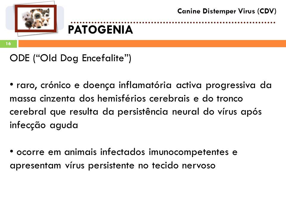 16 PATOGENIA Canine Distemper Virus (CDV) ODE (Old Dog Encefalite) raro, crónico e doença inflamatória activa progressiva da massa cinzenta dos hemisférios cerebrais e do tronco cerebral que resulta da persistência neural do vírus após infecção aguda ocorre em animais infectados imunocompetentes e apresentam vírus persistente no tecido nervoso