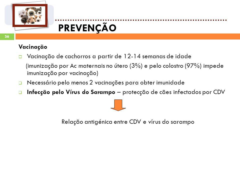 36 PREVENÇÃO Vacinação Vacinação de cachorros a partir de 12-14 semanas de idade (imunização por Ac maternais no útero (3%) e pelo colostro (97%) impede imunização por vacinação) Necessário pelo menos 2 vacinações para obter imunidade Infecção pelo Vírus do Sarampo – protecção de cães infectados por CDV Relação antigénica entre CDV e vírus do sarampo