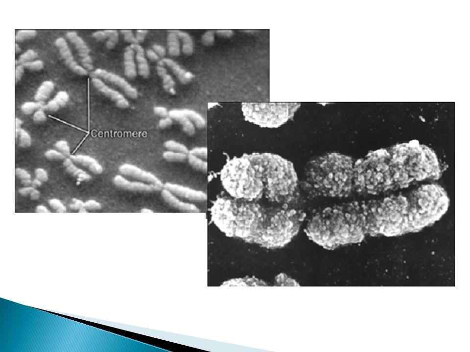 Mutações cromossômicas Também chamadas de aberrações cromossômicas, são alterações na estrutura ou no número de cromossomos normal da espécie.