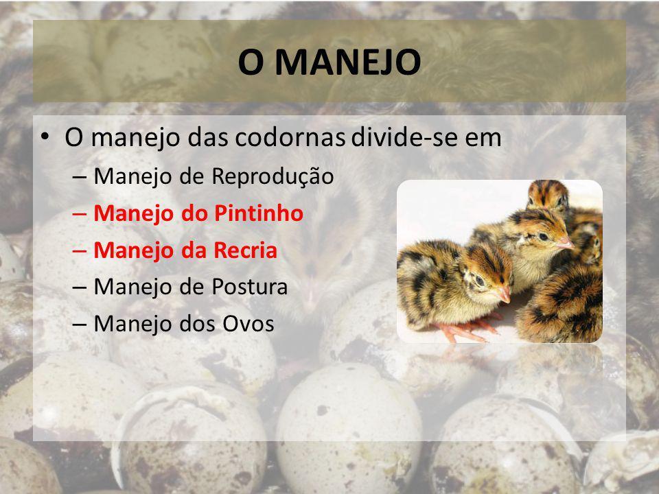 O MANEJO O manejo das codornas divide-se em – Manejo de Reprodução – Manejo do Pintinho – Manejo da Recria – Manejo de Postura – Manejo dos Ovos
