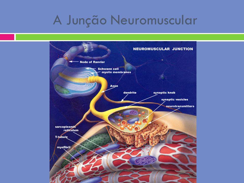 A Junção Neuromuscular