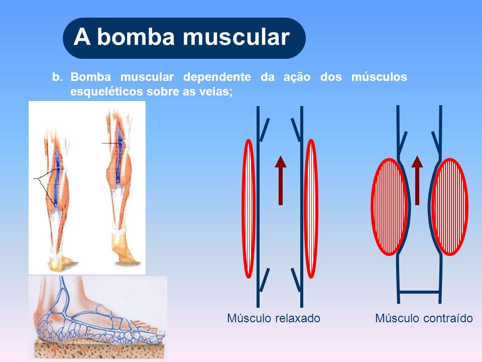 b.Bomba muscular dependente da ação dos músculos esqueléticos sobre as veias; A bomba muscular Músculo relaxado Músculo contraído