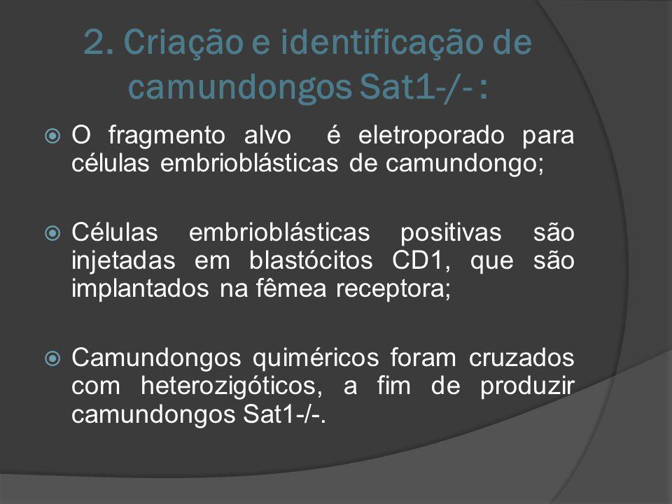 Não aconteceram diferenças no peso corporal, tamanho do rabo ou outra característica corporal que distinguisse camundongos Sat1-/- dos Sat1+/- ou Sat1+/+.