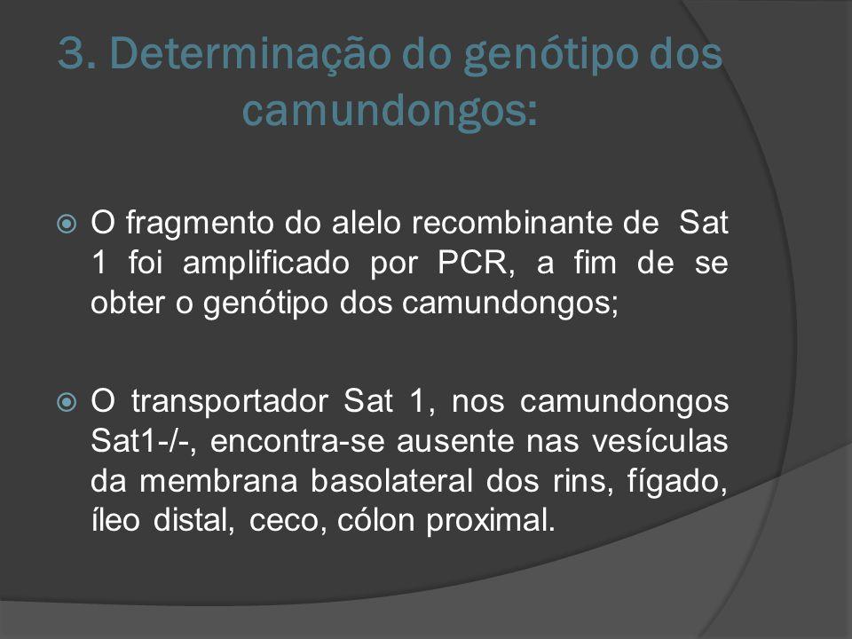 Sat1 e IDUA: Os genes Sat1 e IDUA são sobrepostos; Distorções seletivas no gene IDUA não levaram a alterações nos níveis de RNAm para Sat1; Ausência de mudanças na atividade funcional do IDUA em Sat1-/- sugere que efeitos antisense não atuem de forma relevante na regulação da expressão dos genes Sat1 e IDUA.