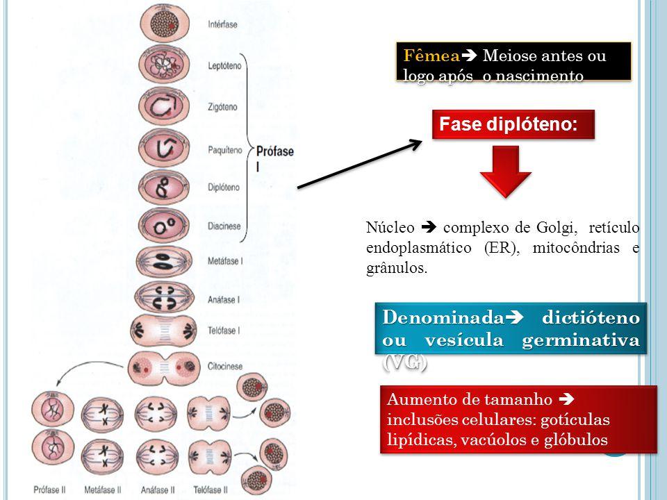 Ovogênese Fase diplóteno: Núcleo complexo de Golgi, retículo endoplasmático (ER), mitocôndrias e grânulos.