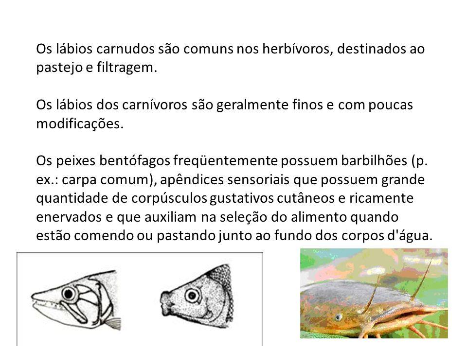 Os lábios carnudos são comuns nos herbívoros, destinados ao pastejo e filtragem. Os lábios dos carnívoros são geralmente finos e com poucas modificaçõ