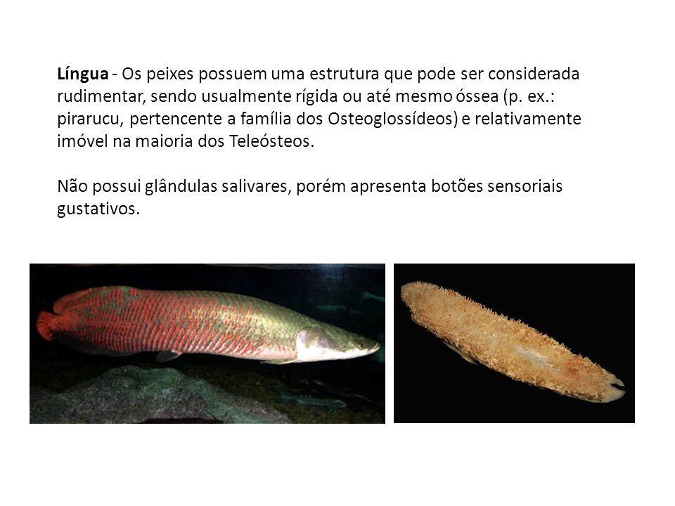 Língua - Os peixes possuem uma estrutura que pode ser considerada rudimentar, sendo usualmente rígida ou até mesmo óssea (p. ex.: pirarucu, pertencent