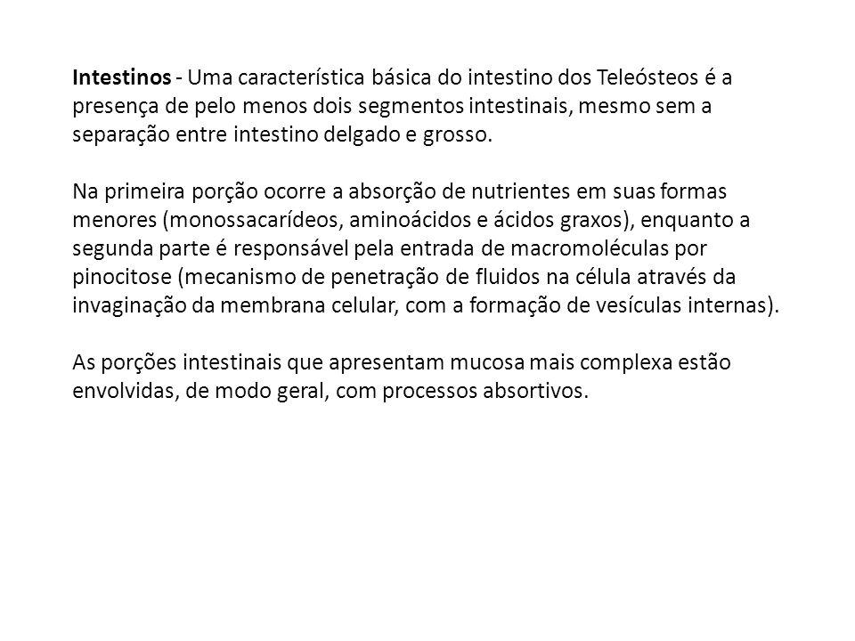 Intestinos - Uma característica básica do intestino dos Teleósteos é a presença de pelo menos dois segmentos intestinais, mesmo sem a separação entre