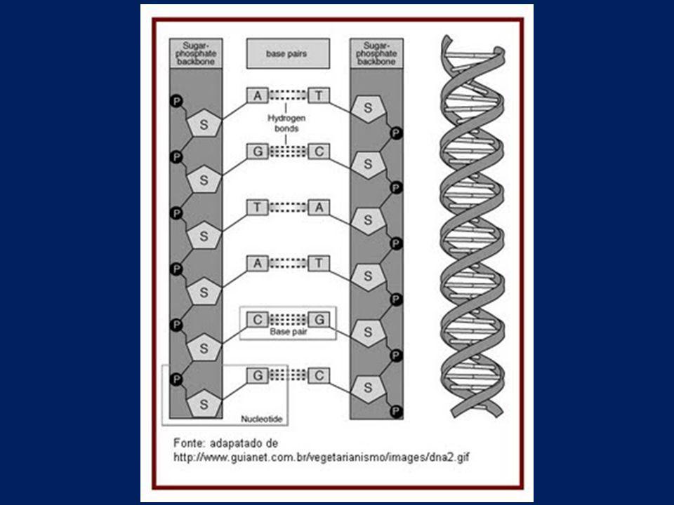 PAREAMENTO DAS BASES NITROGENADAS A = T C = G A sequência de bases na fita oposta é predeterminada e complementar à primeira fita.