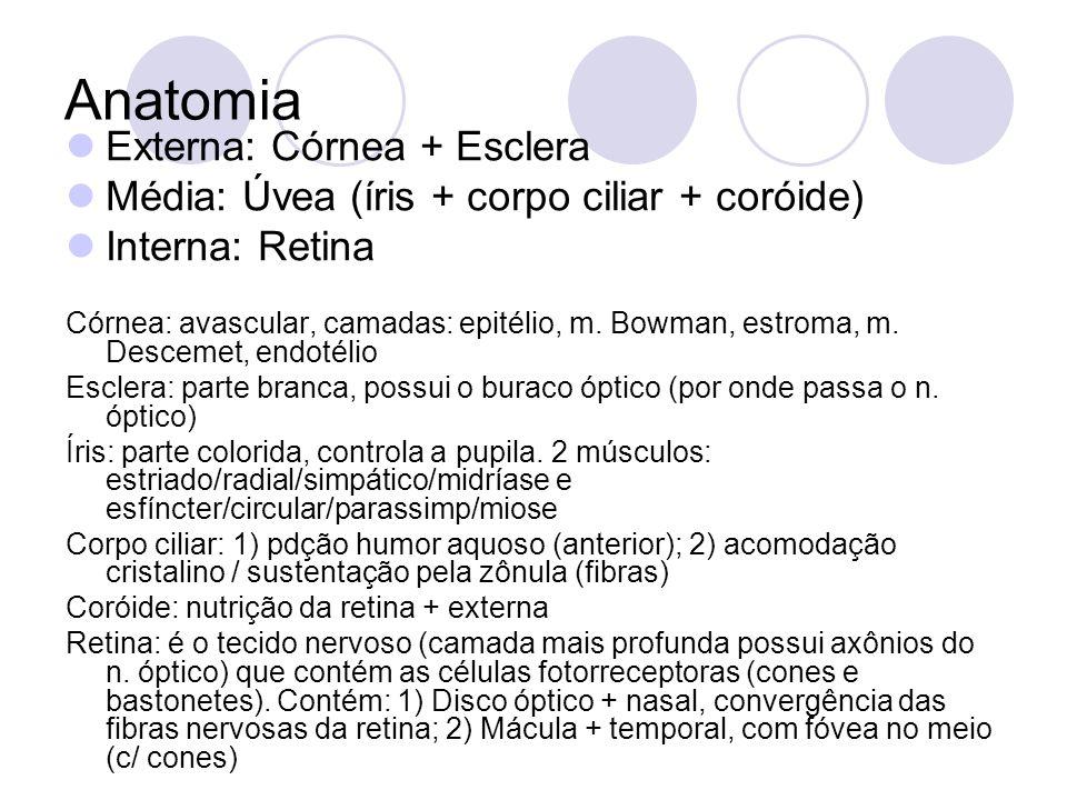 Anatomia Externa: Córnea + Esclera Média: Úvea (íris + corpo ciliar + coróide) Interna: Retina Córnea: avascular, camadas: epitélio, m. Bowman, estrom