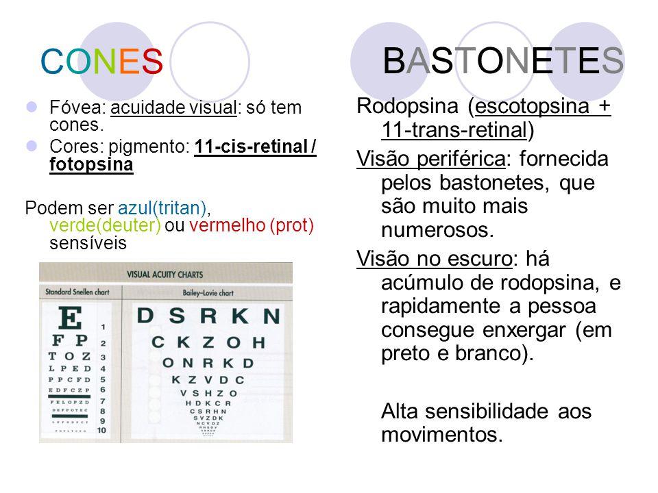 CONESCONES Fóvea: acuidade visual: só tem cones. Cores: pigmento: 11-cis-retinal / fotopsina Podem ser azul(tritan), verde(deuter) ou vermelho (prot)