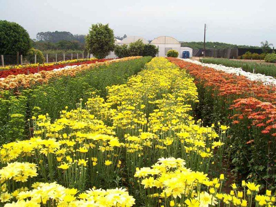 Durante a Expoflora, o público tem a oportunidade rara de conhecer os famosos campos de flores de Holambra.