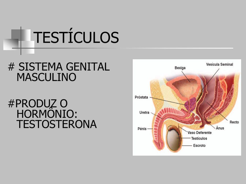 TESTÍCULOS # SISTEMA GENITAL MASCULINO #PRODUZ O HORMÔNIO: TESTOSTERONA