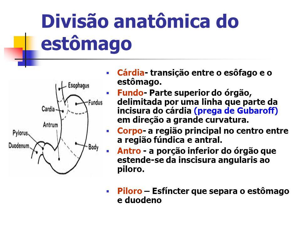 Divisão anatômica do estômago Cárdia- transição entre o esôfago e o estômago. Fundo- Parte superior do órgão, delimitada por uma linha que parte da in
