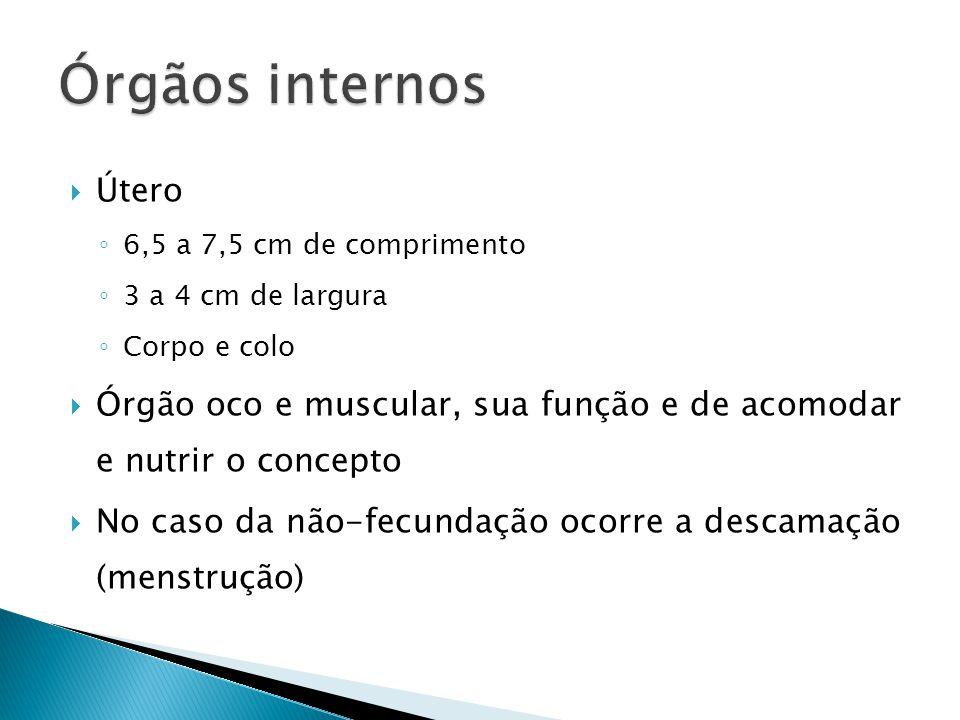 Útero 6,5 a 7,5 cm de comprimento 3 a 4 cm de largura Corpo e colo Órgão oco e muscular, sua função e de acomodar e nutrir o concepto No caso da não-fecundação ocorre a descamação (menstrução)