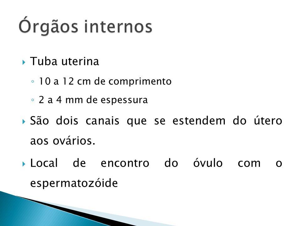 Tuba uterina 10 a 12 cm de comprimento 2 a 4 mm de espessura São dois canais que se estendem do útero aos ovários.