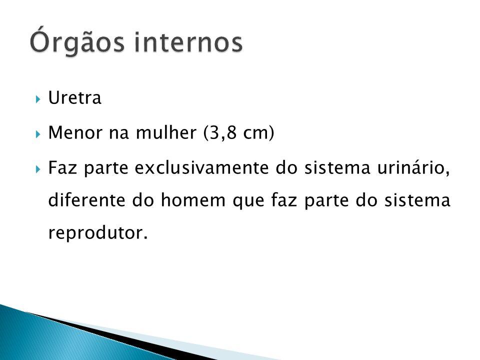 Uretra Menor na mulher (3,8 cm) Faz parte exclusivamente do sistema urinário, diferente do homem que faz parte do sistema reprodutor.