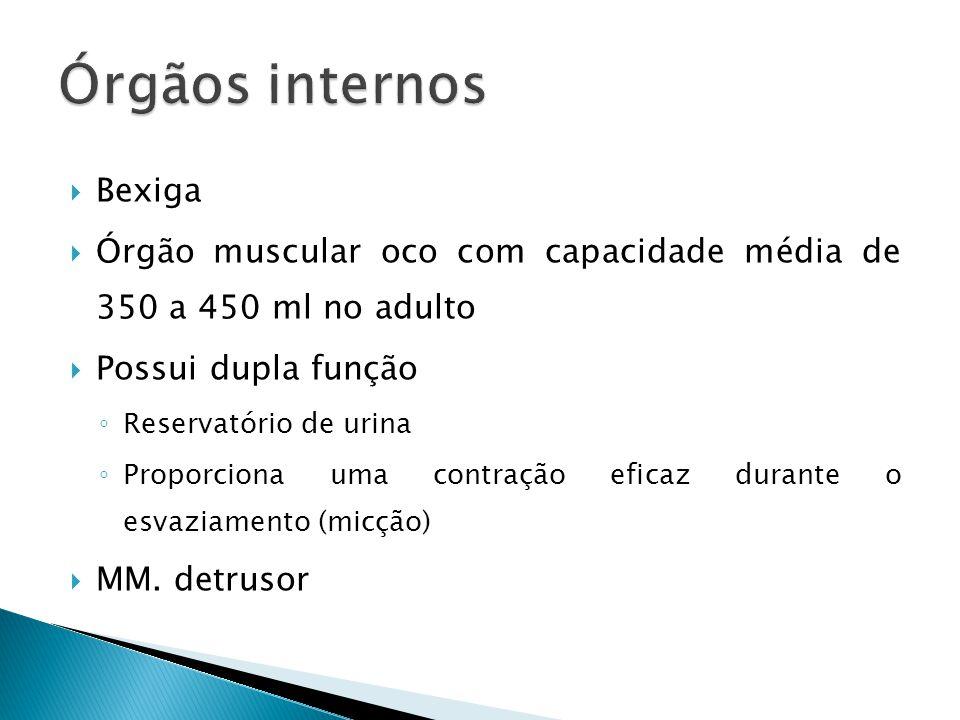 Bexiga Órgão muscular oco com capacidade média de 350 a 450 ml no adulto Possui dupla função Reservatório de urina Proporciona uma contração eficaz du