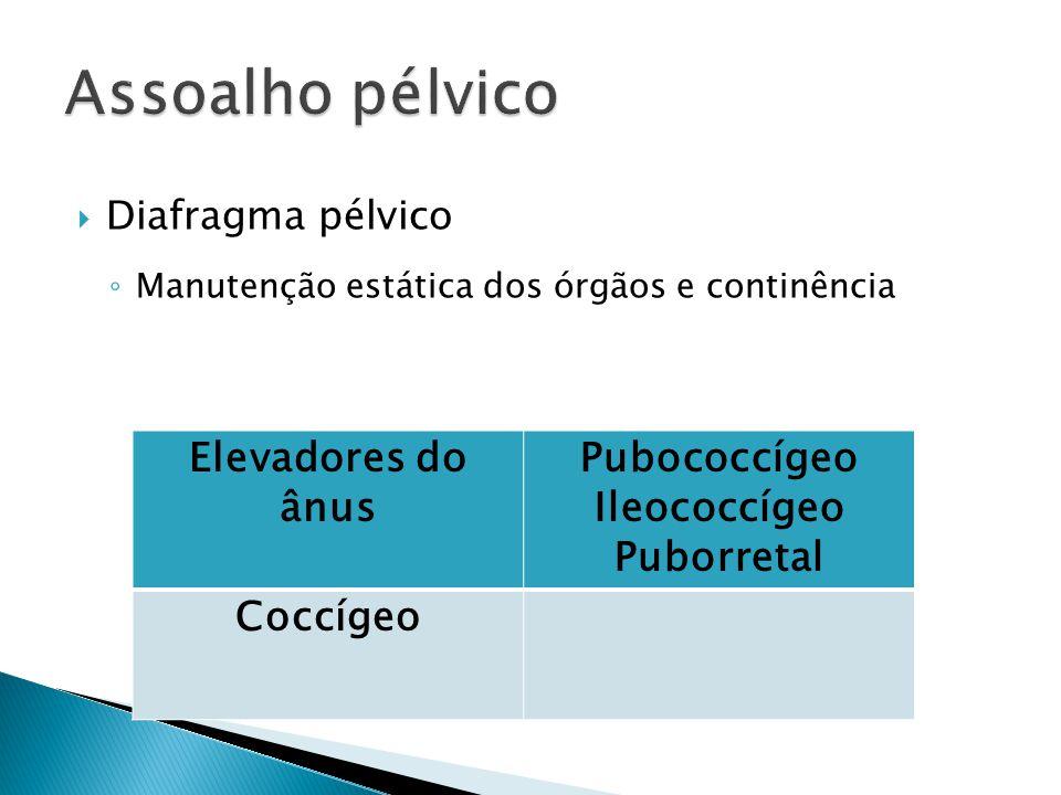Diafragma pélvico Manutenção estática dos órgãos e continência Elevadores do ânus Pubococcígeo Ileococcígeo Puborretal Coccígeo
