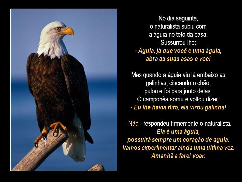 A águia pousou sobre o braço estendido do naturalista. Olhava distraidamente ao redor. Viu as galinhas lá embaixo, ciscando grãos. E pulou para junto