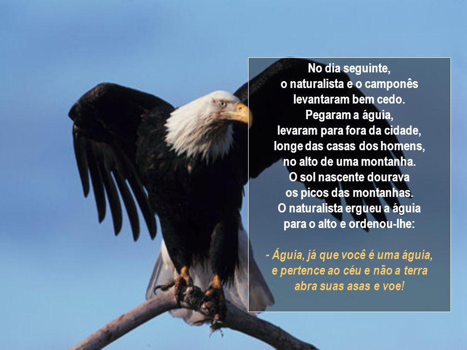 No dia seguinte, o naturalista subiu com a águia no teto da casa. Sussurrou-lhe: - Águia, já que você é uma águia, abra as suas asas e voe! Mas quando