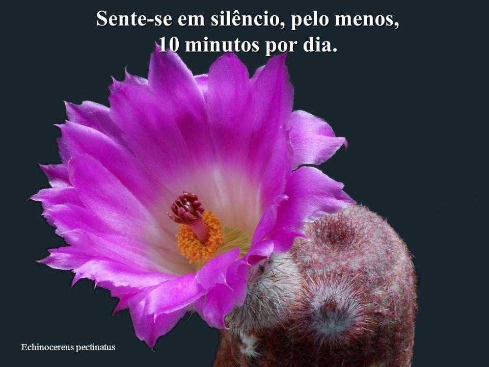 Echinocereus pectinatus Sente-se em silêncio, pelo menos, 10 minutos por dia.