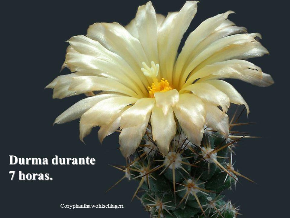 Coryphantha wohlschlageri Durma durante 7 horas.