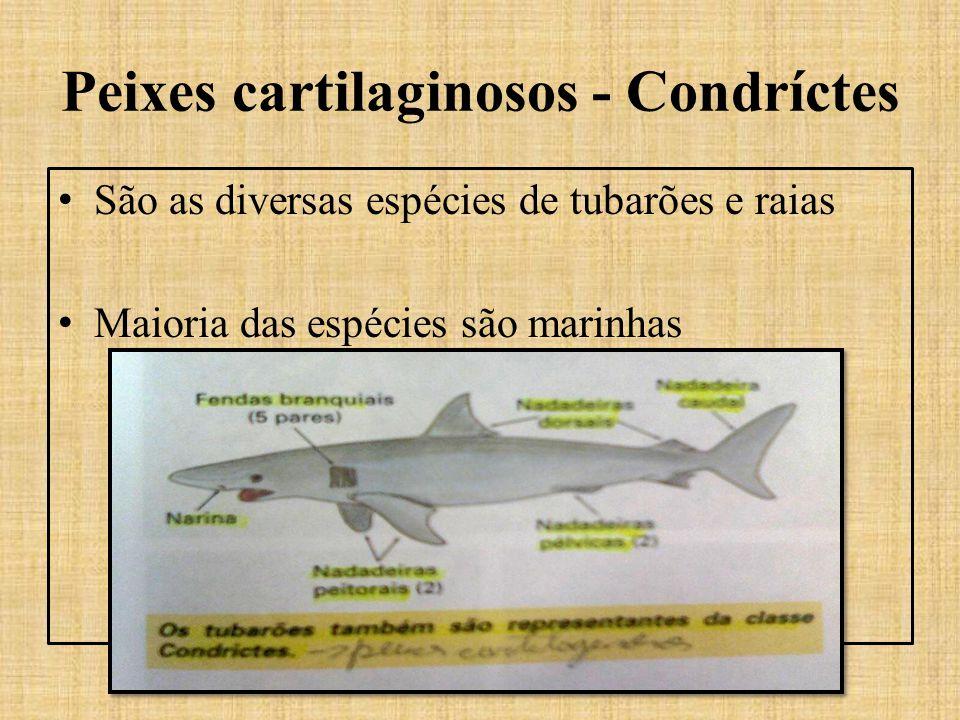 Peixes cartilaginosos - Condríctes São as diversas espécies de tubarões e raias Maioria das espécies são marinhas