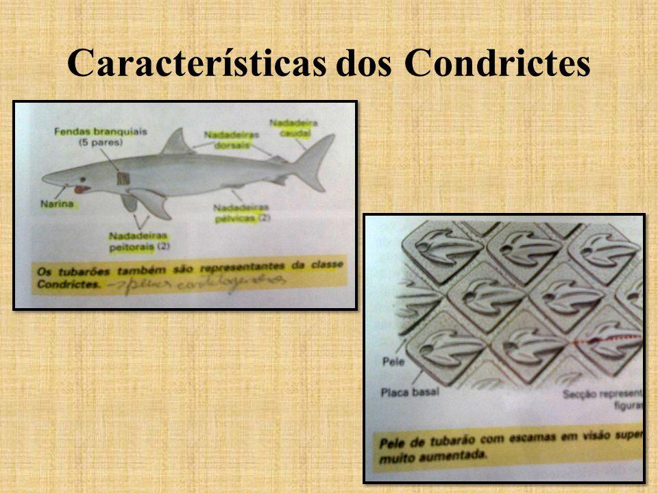 Características dos Condrictes