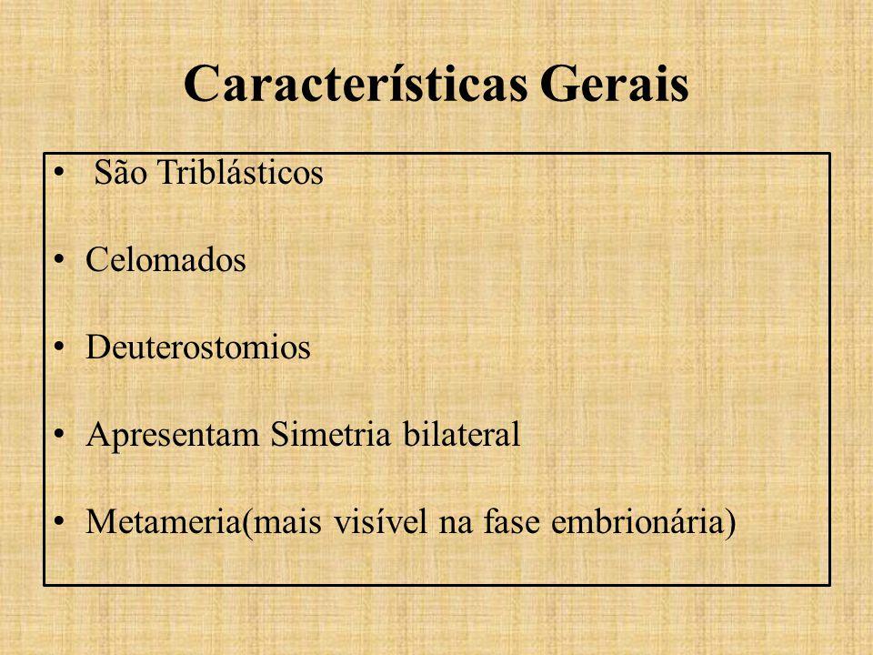 Características Gerais São Triblásticos Celomados Deuterostomios Apresentam Simetria bilateral Metameria(mais visível na fase embrionária)