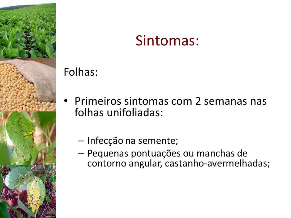 Sintomas: Folhas: Primeiros sintomas com 2 semanas nas folhas unifoliadas: – Infecção na semente; – Pequenas pontuações ou manchas de contorno angular, castanho-avermelhadas;