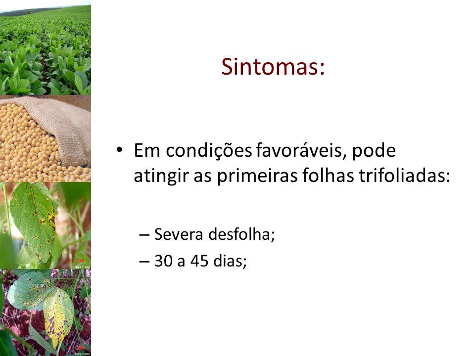 Em condições favoráveis, pode atingir as primeiras folhas trifoliadas: – Severa desfolha; – 30 a 45 dias; Sintomas:
