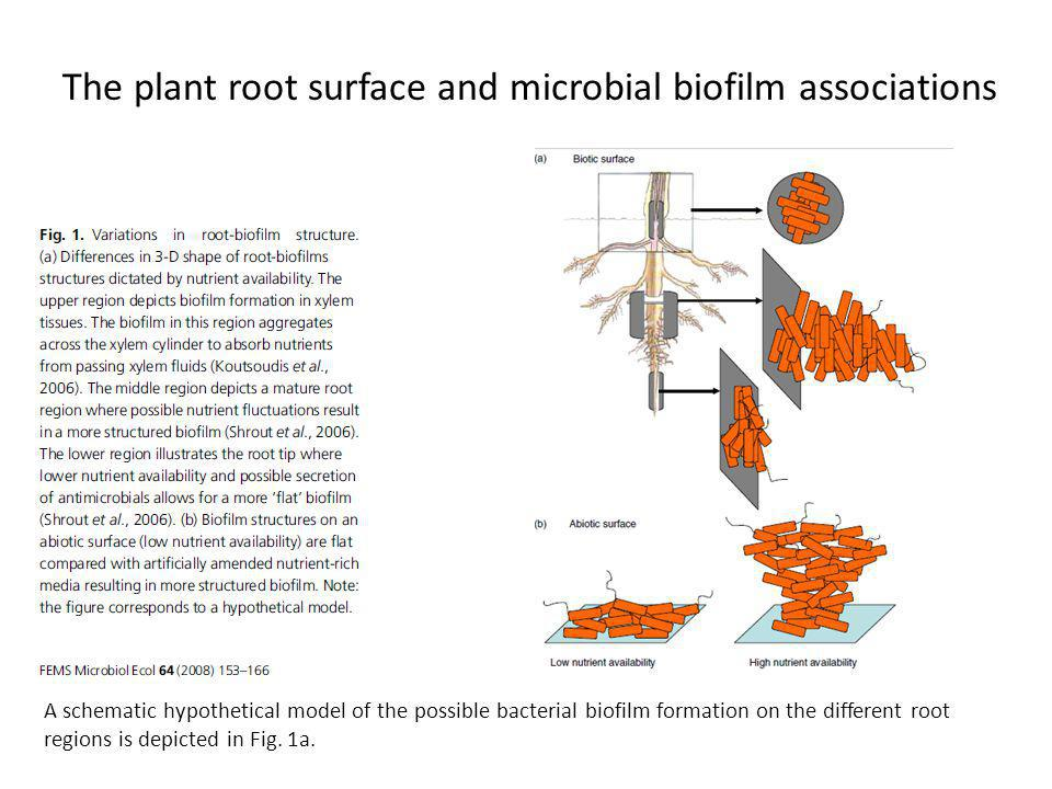 The plant root surface and microbial biofilm associations A schematic hypothetical model of the possible bacterial biofilm formation on the different root regions is depicted in Fig.