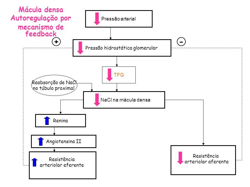 afferent arteriolar resistance -+ Pressão arterial Pressão hidrostática glomerular TFG NaCl na mácula densa Renina Angiotensina II Resistência arteriolar eferente Reabsorção de NaCl no túbulo proximal Mácula densa Autoregulação por mecanismo de feedback Resistência arteriolar aferente