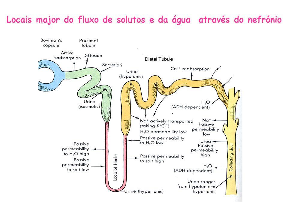 Locais major do fluxo de solutos e da água através do nefrónio