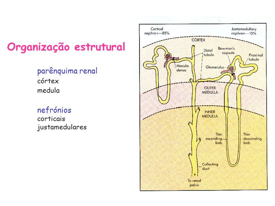 Fluxo sanguíneo renal –os rins recebem 20% do débito cardíaco –rede vascular: »artérias renais »artérias interlobares »artérias arqueadas »artérias interlobulares »arteríolas aferentes »capilares glomerulares »arteríolas eferentes »capilares peritubulares