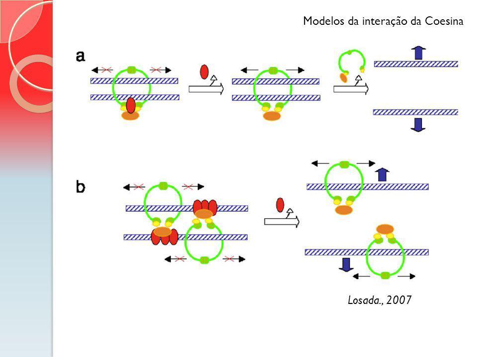 Losada., 2007 Modelos da interação da Coesina