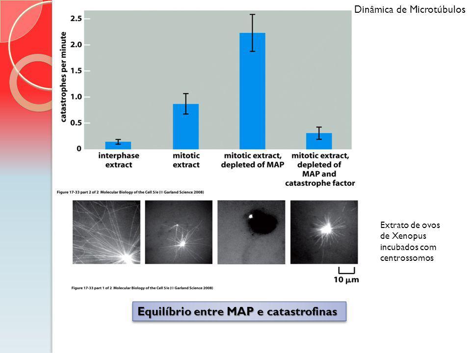 Dinâmica de Microtúbulos Equilíbrio entre MAP e catastrofinas Extrato de ovos de Xenopus incubados com centrossomos