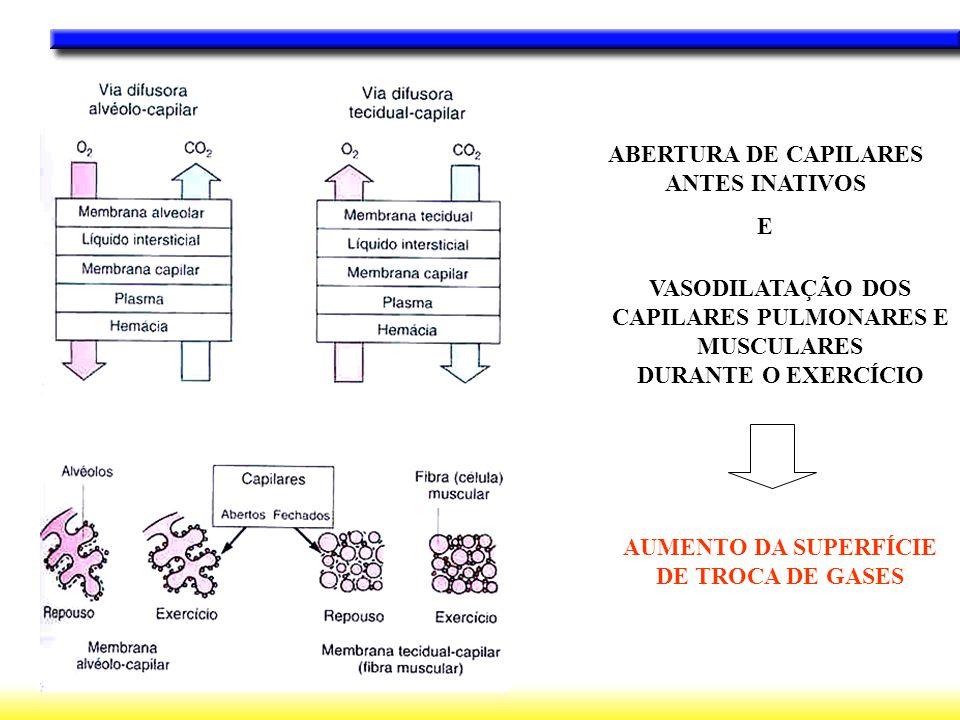 VASODILATAÇÃO DOS CAPILARES PULMONARES E MUSCULARES DURANTE O EXERCÍCIO AUMENTO DA SUPERFÍCIE DE TROCA DE GASES ABERTURA DE CAPILARES ANTES INATIVOS E