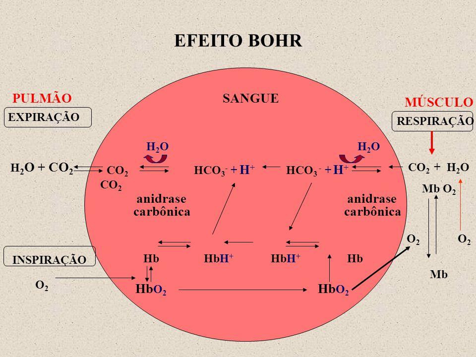 EFEITO BOHR SANGUE H 2 O H 2 O CO 2 HCO 3 - + H + HCO 3 - + H + CO 2 anidrase anidrase carbônica carbônica Hb HbH + HbH + Hb MÚSCULO CO 2 + H 2 O Mb O