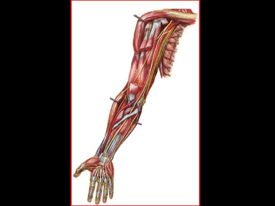 Músculos da Mão Média Lumbricais Interósseos palmares Interósseos dorsais Lumbricais Interósseos palmares Interósseos dorsais