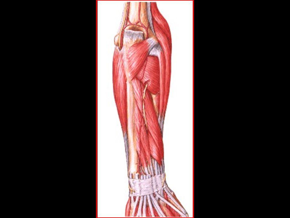 profundos supinador abdutor longo do polegar extensor curto do polegar extensor longo do polegar extensor do índex região posterior do antebraço
