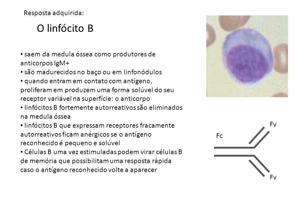 O linfócito B saem da medula óssea como produtores de anticorpos IgM+ são madurecidos no baço ou em linfonódulos quando entram em contato com antígeno