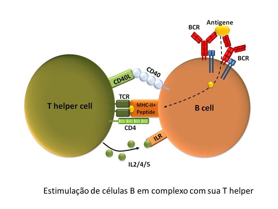 Estimulação de células B em complexo com sua T helper