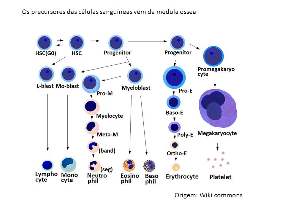 Os precursores das células sanguíneas vem da medula óssea Origem: Wiki commons