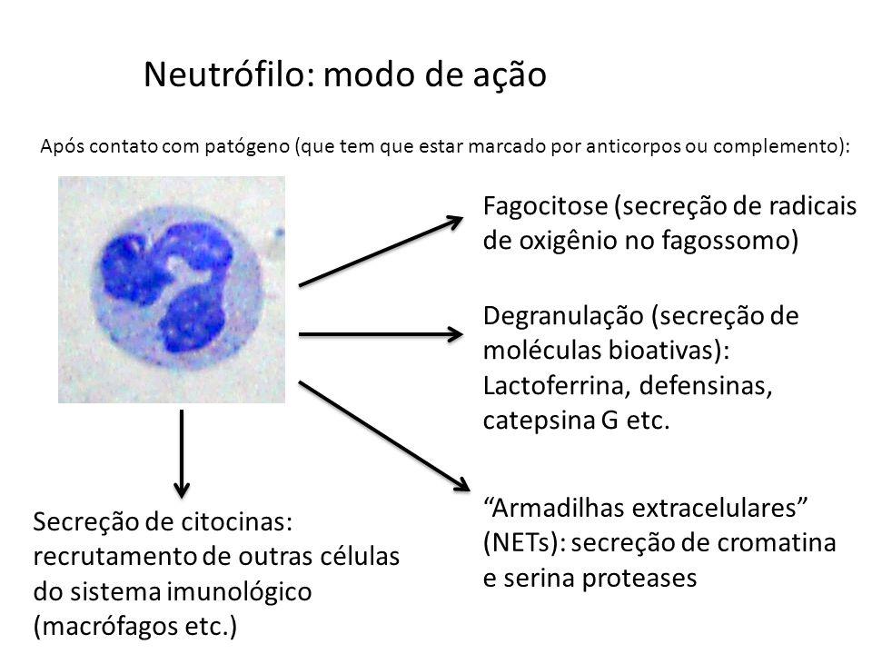 Neutrófilo: modo de ação Após contato com patógeno (que tem que estar marcado por anticorpos ou complemento): Fagocitose (secreção de radicais de oxig